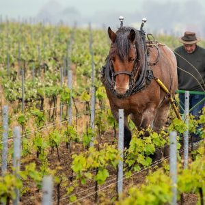 Working the soil by horse.