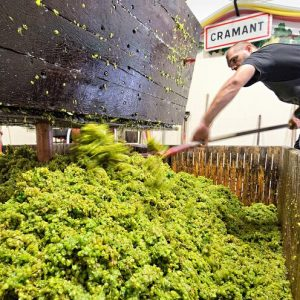 Forking the grapes at Champagne Petitjean-Pienne in the village of Cramant.
