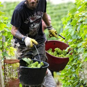 Harvest time at Champagne Voirin-Jumel. Anotek Le Fou Magne is a tatoo artist by trade.