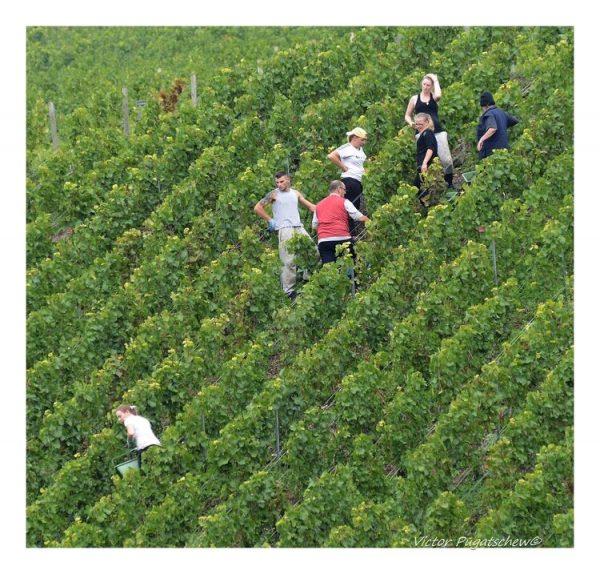 Steep vineyards in Clos de Goisses vineyard Champagne region.
