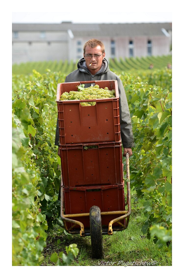 Harvest time in Cuis, Champagne region. At Pierre Gimmonnet.