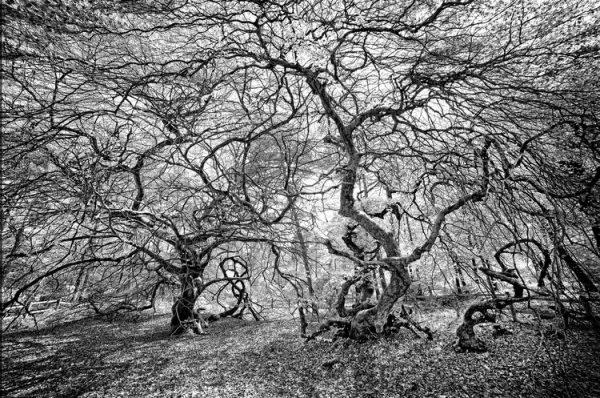 ''Faux de Verzy'' is a little forest with odd warped trees in Champagne region.