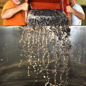 Bucketing the crushed meunier grapes ready to make red wine at Champagne Laherte in Chavot.